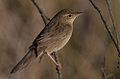 Flickr - Rainbirder - Grasshopper Warbler (Locustella naevia).jpg