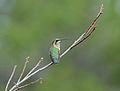 Flickr - ggallice - Hummingbird.jpg