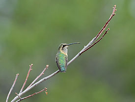 Flickr - ggallice - Hummingbird.jpg