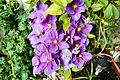 Flickr - ronsaunders47 - A CLUTCH OF CLEMATIS.jpg