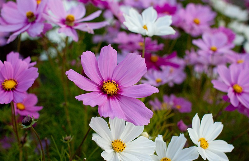 "File:Flower, Cosmos ""Radiance"" - Flickr - nekonomania (2).jpg"
