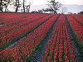 Flower Growing - panoramio.jpg