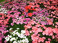 Flower garden found in Tak Thailand 1.jpg