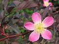 Flower of Rosa glauca 01.jpg