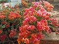 Flower of kaduna 03.jpg