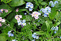 Forget-me-not 2.jpg