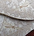 Fossil crane fly (Florissant Formation, Upper Eocene; Clare Quarry, central Colorado, USA) 3 (18721497013).jpg