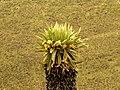 Frailejón (Espeletia sp.) (14287133934).jpg
