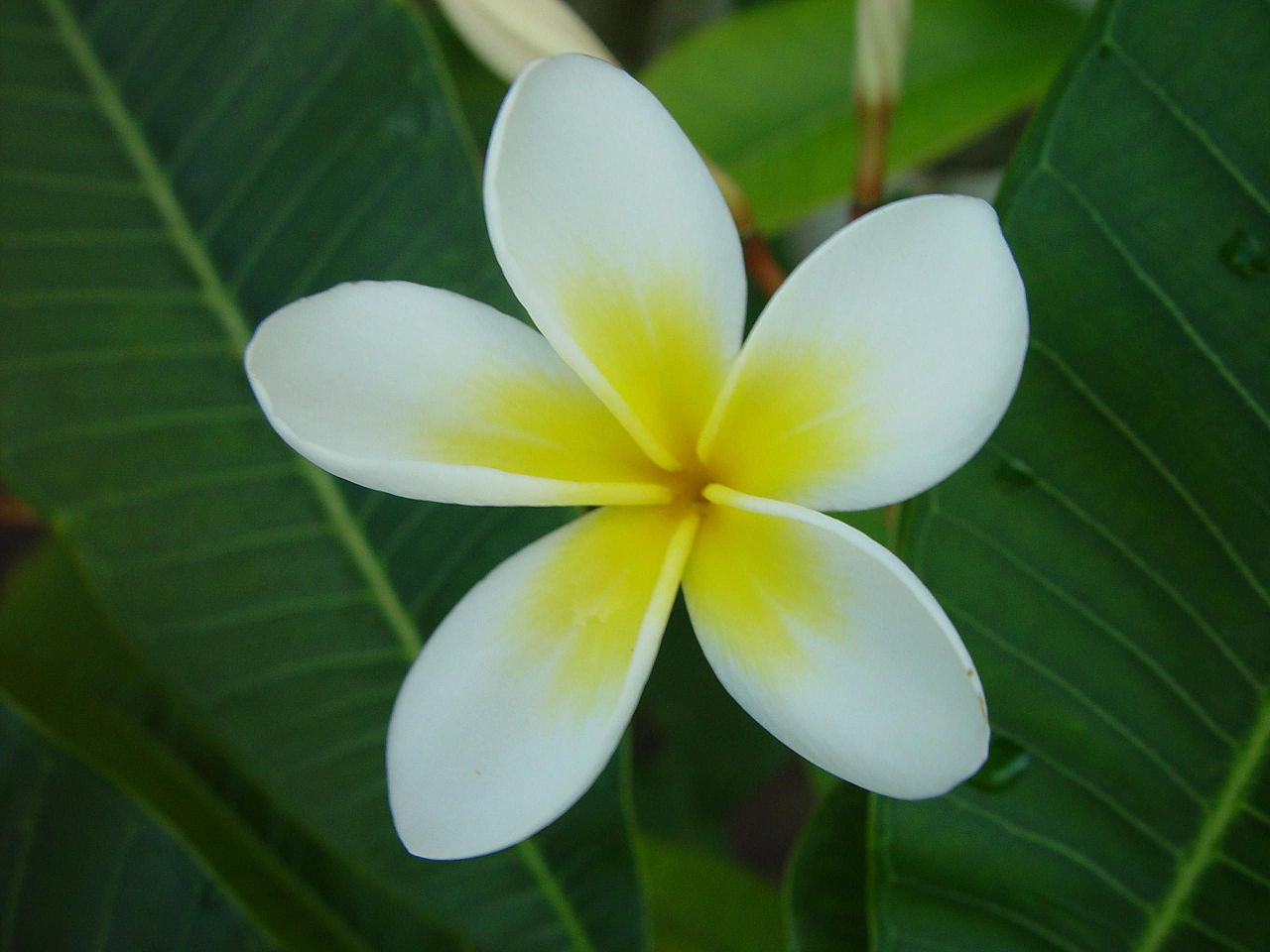 Cook Island Flowers Pictures