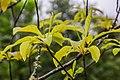 Franklinia alatamaha in Hackfalls Arboretum (2).jpg