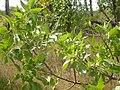 Fraxinus pennsylvanica (5107489533).jpg