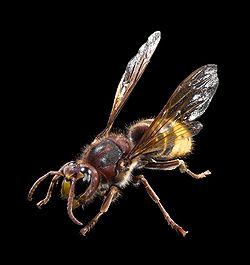 モンスズメバチ モンスズメバチ(紋雀蜂、英: European hor... スズメバチ