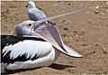 Friendly Pelican on Margate Beach-02 (6229584343).jpg