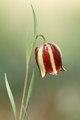 Fritillaria lusitanica.tif