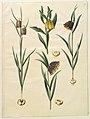 Fritillaria meleagris; Fritullaria lutea eller Fritullaria latifolia var lutea; Fritillaria pyrenaica.jpg