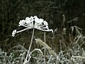 Frosted flower - geograph.org.uk - 641751.jpg