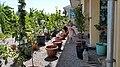Fruit trees in pots, Tashkent.jpg