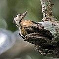 Fulvous-breasted Woodpecker (Dendrocopos macei) at Narendrapur near Kolkata I IMG 7737.jpg