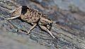 Fungus Beetle (Habrissus sp.) (8749114785).jpg