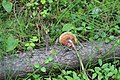 Ganoderma lucidum 81597473.jpg
