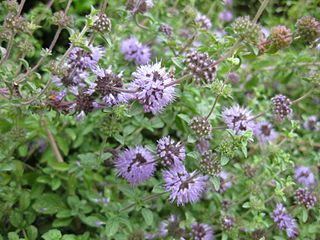 Mentheae Tribe of flowering plants in the sage family Lamiaceae