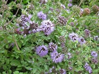 <i>Mentha pulegium</i> Species of plant