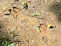 Gaur (Bos gaurus) Spoors (7852945472).jpg