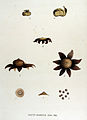 Geaster mammosus — Flora Batava — Volume v15.jpg