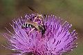 Gelbbindige Furchenbiene Halictus scabiosae 3160.jpg