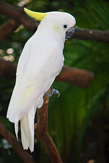 Yellow-crested cockatoo - Wikipedia