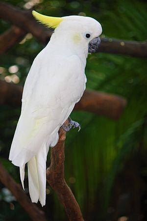 Yellow-crested cockatoo - Wing-clipped cockatoo at Guangzhou Zoo