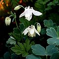 Gemeine Akelei (Aquilegia vulgaris) 6176.JPG
