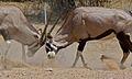 Gemsboks (Oryx gazella) (6482384315).jpg