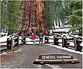 General Sherman Tree Bild 4.jpg