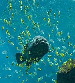 Riesenzackenbarsch im Georgia Aquarium in Atlanta begleitet von jungen Stachelmakrelen.
