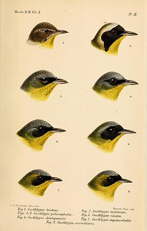 Yellowthroat - Heads of Geothlypis taxa