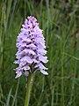 Gevlekte orchis met schuimcicade 02.JPG