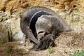 Giant Anteater scratching himself - Doué la Fontaine - 20100822.jpg