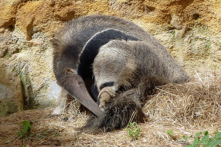 English:  Giant Anteater (Myrmecophaga tridactyla) scratching himself, in the zoo of Doué-la-Fontaine|Doué-la-Fontaine, Maine-et-Loire, Pays de la Loire, France.