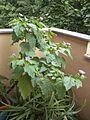 Giftbeerenpflanze.JPG
