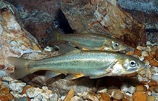 Gila chub Species of fish