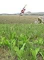 Gladiolus sp. (Iridaceae) (6929294427).jpg