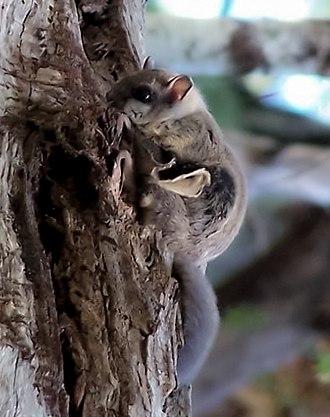 Humboldt's flying squirrel - Image: Glaucomys oregonensis 2