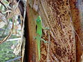Gold Dust Day Gecko - Kailua-Kona, Hawaii - 7 Oct. 2003.jpg