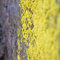 Gold Dust Lichen (4570572807).jpg