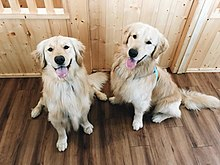 Golden Retriever Brother.jpg