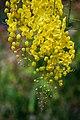 Golden Shower - Cassia Fistula.jpg