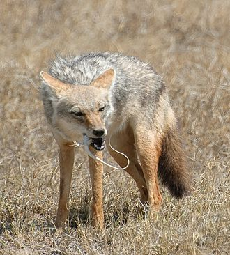 African golden wolf - Serengeti wolf (C. a. bea) eating an agama