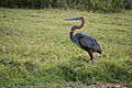 Goliath heron - Queen Elizabeth National Park, Uganda.jpg