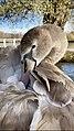 Gorgeous swan.jpg